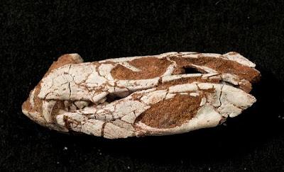 Pakasuchus skull