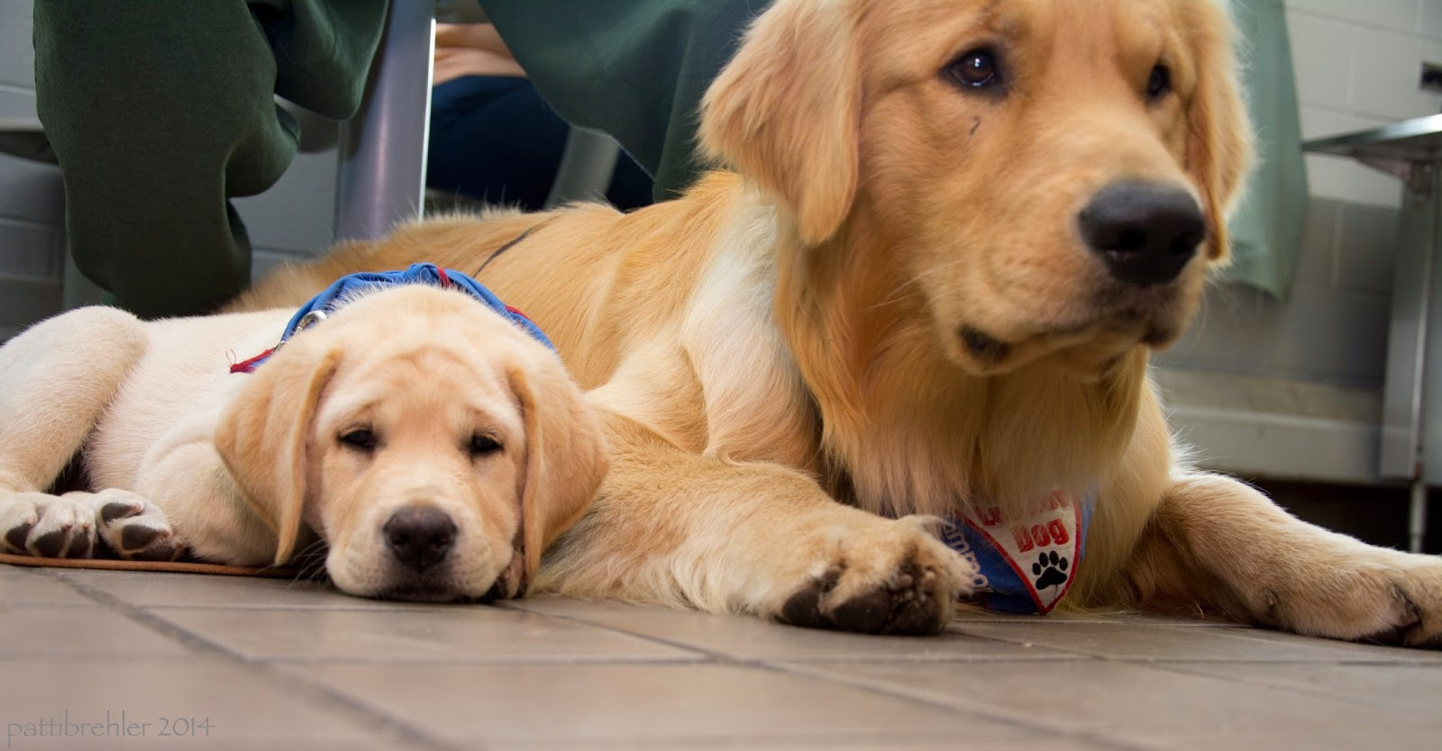 A floor level shot of a small yellow lab (left) lying next to a large golden retriever, who is also lying on the tile floor. The little puppy has her chin on the floor, looking at the camera. The golden's head is up and he is looking off to the right.