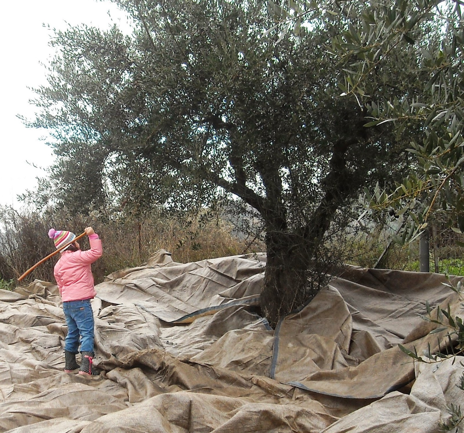 Olive harvesting for those who have a few hundred trees or less is a family affair in much of Greece