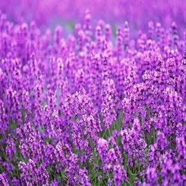 Lavender Bisa Mengobati Luka Bakar