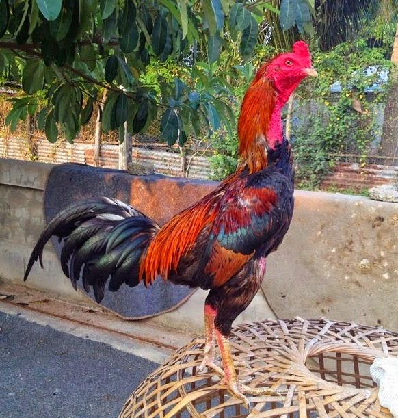 Ciri Ayam Aduan Bangkok Birma dari Thailand | Ayam Juara