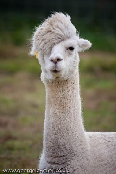 alpaca rambut kpop