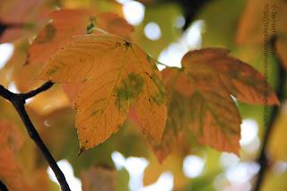 les feuilles des arbres en automne érable orange