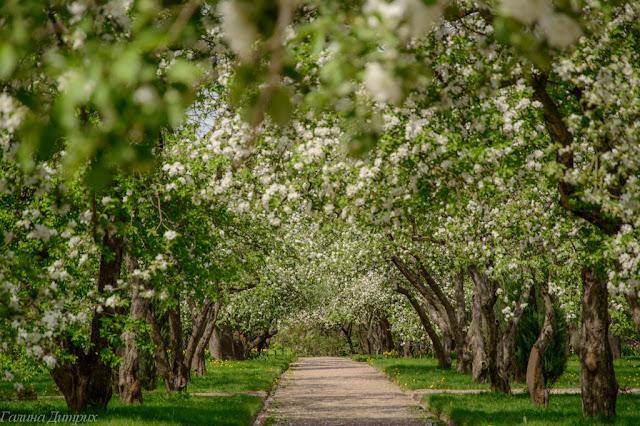 О жизни: Яблоневые сады