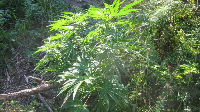 marihuana y cancer