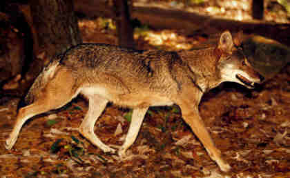 a review of hypotheses of the effects of wolf predation Science/hypotheses of the effects of wolf predation term paper 11765 science term papers disclaimer: free essays on science posted on this site were donated by anonymous users and are provided for informational use only.