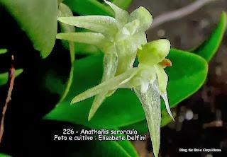 Pleurothallis sororcula, Specklinia sororcula