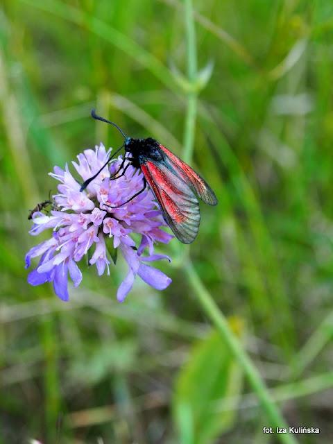 kraśnik , motyle , motylek , motyl , podlasie , owady  , wycieczka , łąka