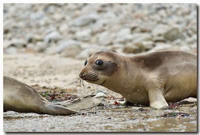 Male Northern Elephant Seal Pup glances at photographer