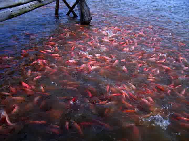 Cara Budidaya Ikan Nila Hias Air Tawar