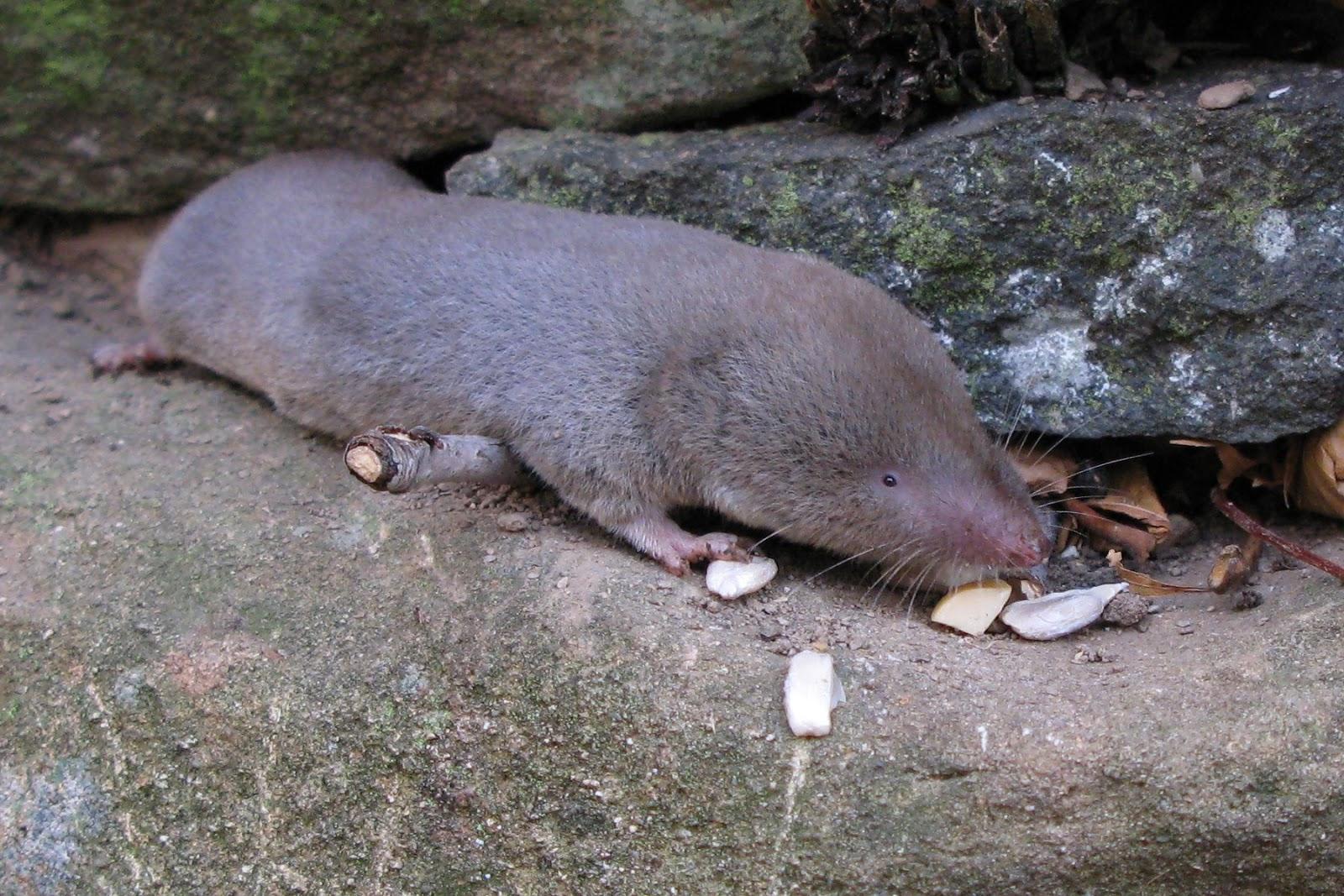 ... gilles gonthier northern short tailed shrew blarina brevicauda shrew Shrew Predators