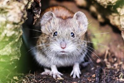 Рыжая полевка. Мышь в лесопарке