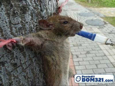 Tikus Kena Seksa Pada Pokok