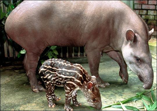 http://1.bp.blogspot.com/-nbJ-suwzYjQ/T9izF1KLbMI/AAAAAAAACVU/wOhbZyiao-g/s1600/bairds_tapir.jpg