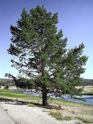 pokok pine