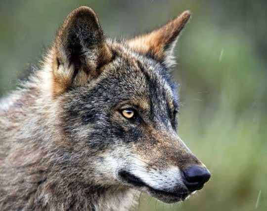 ¿Pueden los lobos cambiar el curso de un río?