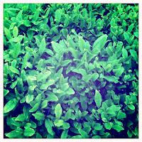 Βότανα για κυτταρίτιδα,πράσινο τσάι