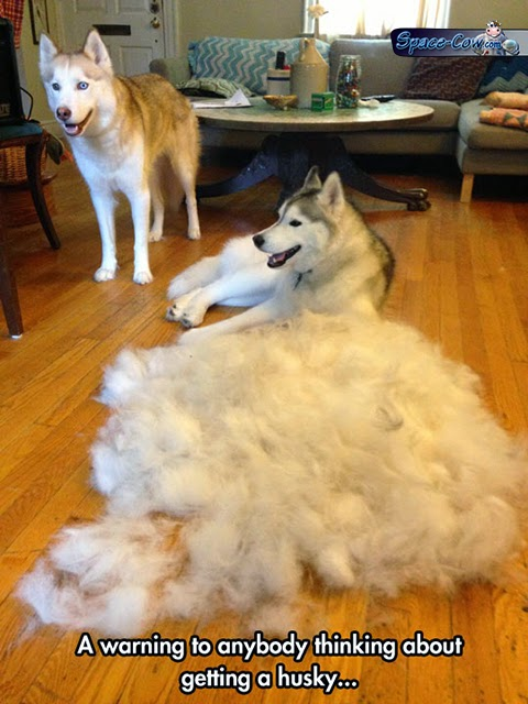 funny husky dogs pictures
