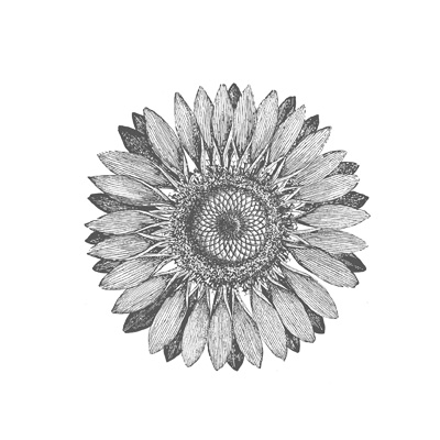Detailed Sunflower Digital Stamp Brush