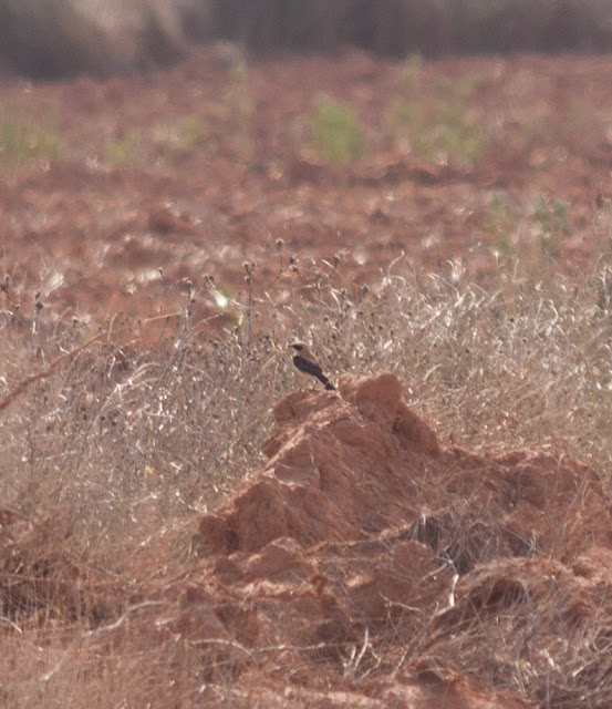 Black-eared Wheatear, Spain