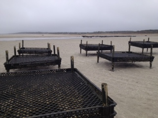 oyster farming