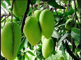 Ayurvedic Uses of Mango