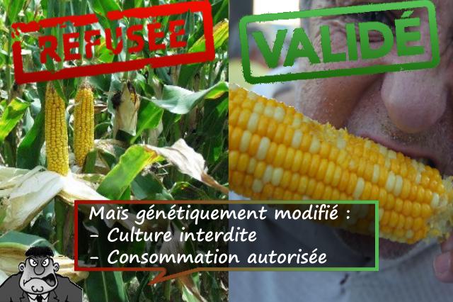 Le maîs OGM interdit ... sauf à la consommation