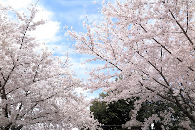 桜 2015 岡崎公園