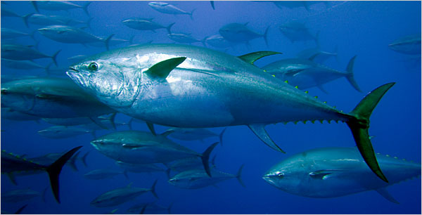 Beautiful Fastest Fish In The World Bluefin Tuna