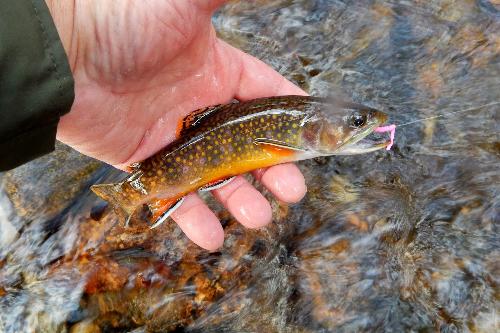 small trout | Bonefish on the Brain