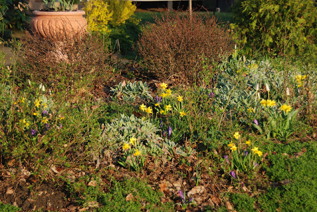 Narcissus 'Tete-a-tete' and Crocus 'Grand Maitre' in the Hill Garden