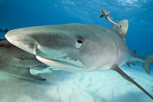 Don 39 t be afraid of the shark why sharks are the apex for What fish has eyelids