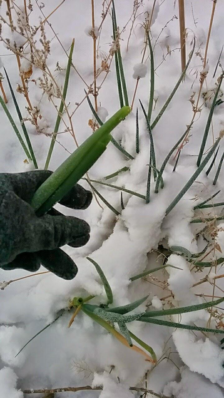 vegetable garden in the snow last crop popular woman blog