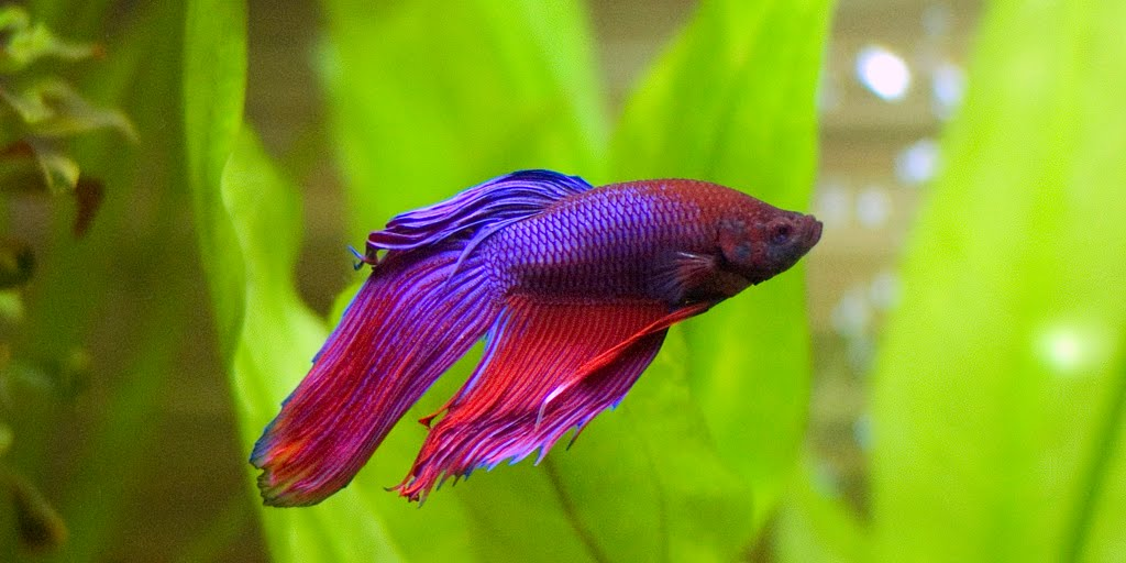 Ich disease on betta fish fins exotic tropical fish for Betta fish ich
