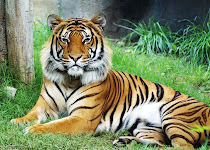 Malayan Tiger...Wzui