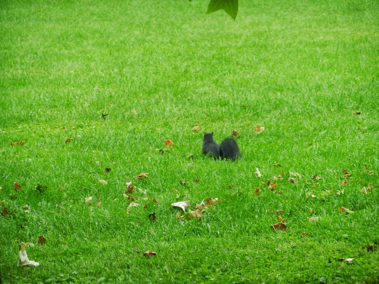 midwest black park squirrels