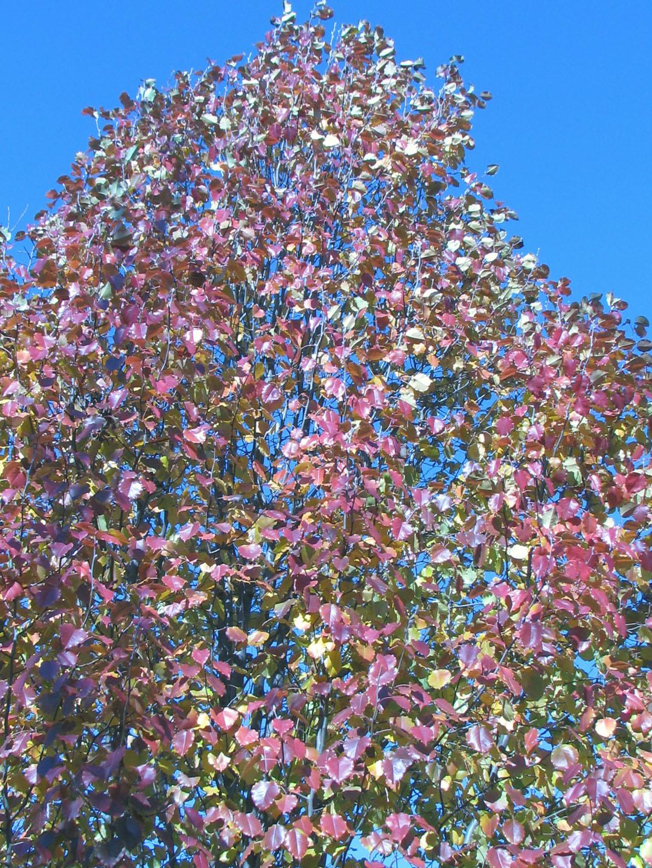 Flowering Pear Tree Beautiful Flowers