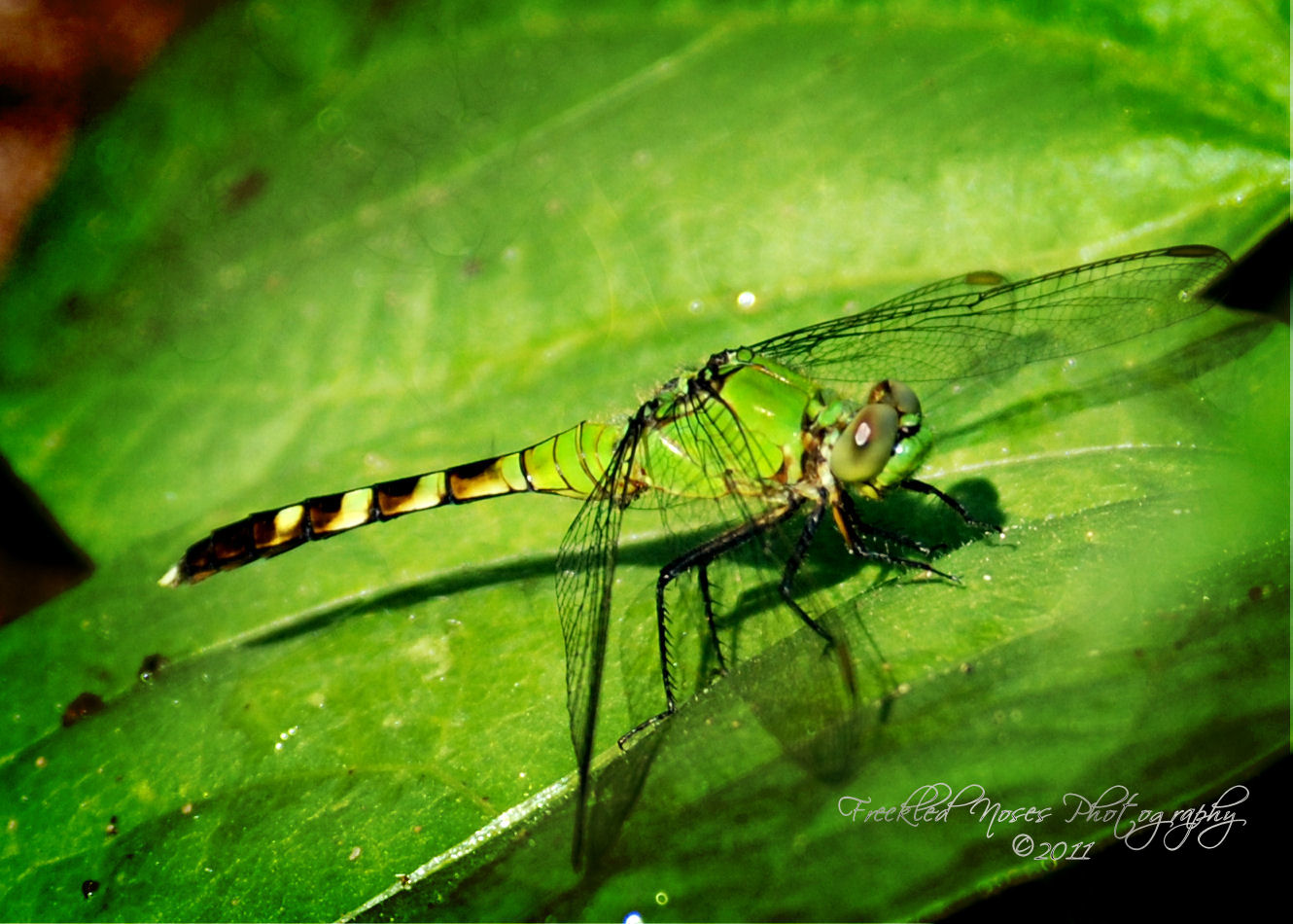 Green dragonfly pictures - photo#16