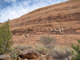 Bighorn sheep in Monument Canyon