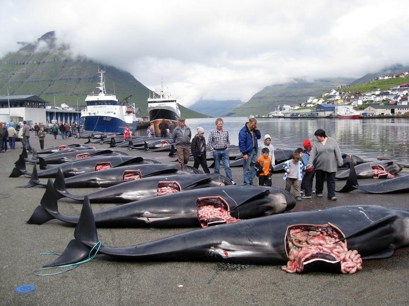 Matanza de ballenas en las Islas Feroe 18