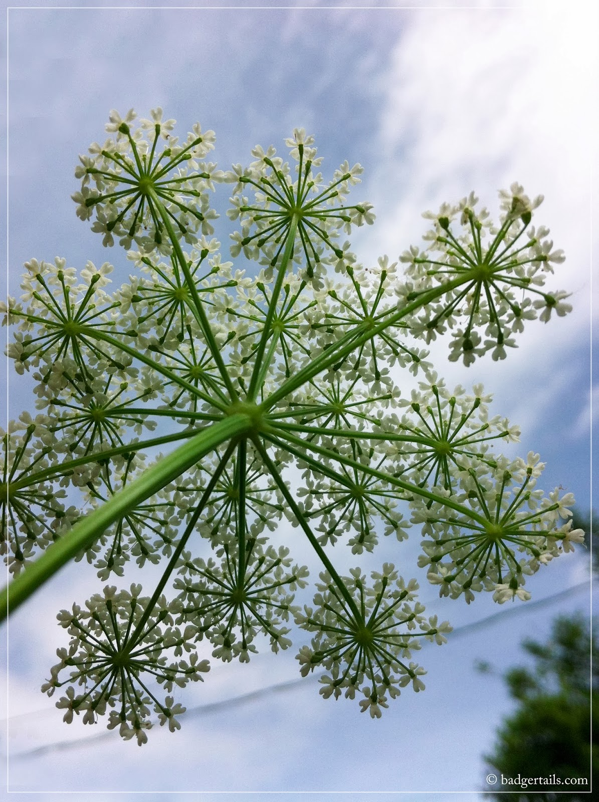 beautiful cow parsley in summer with blue sky
