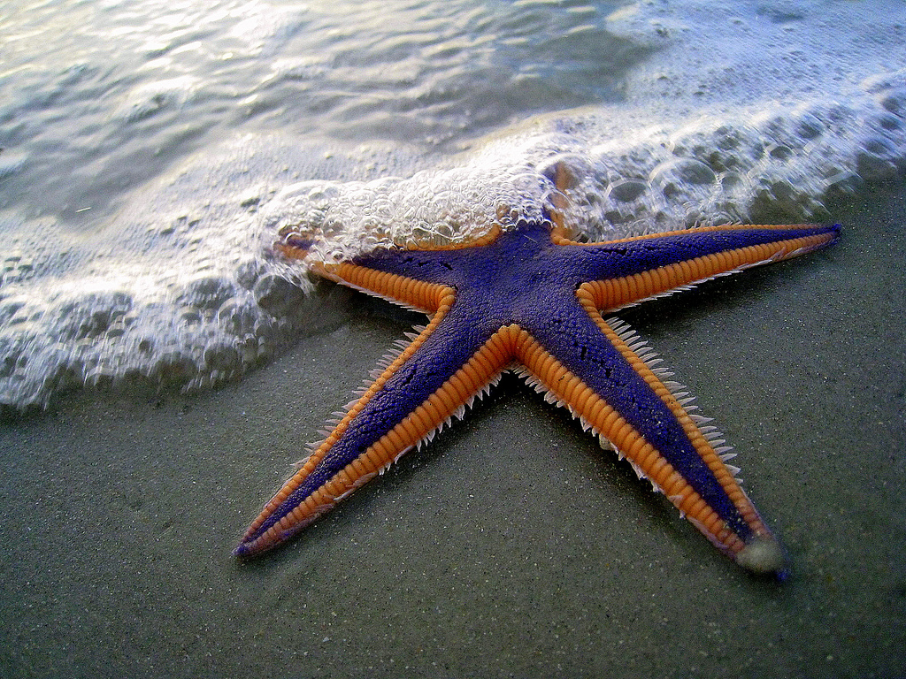 interesting facts about starfish and pictures animal wildlife. Black Bedroom Furniture Sets. Home Design Ideas