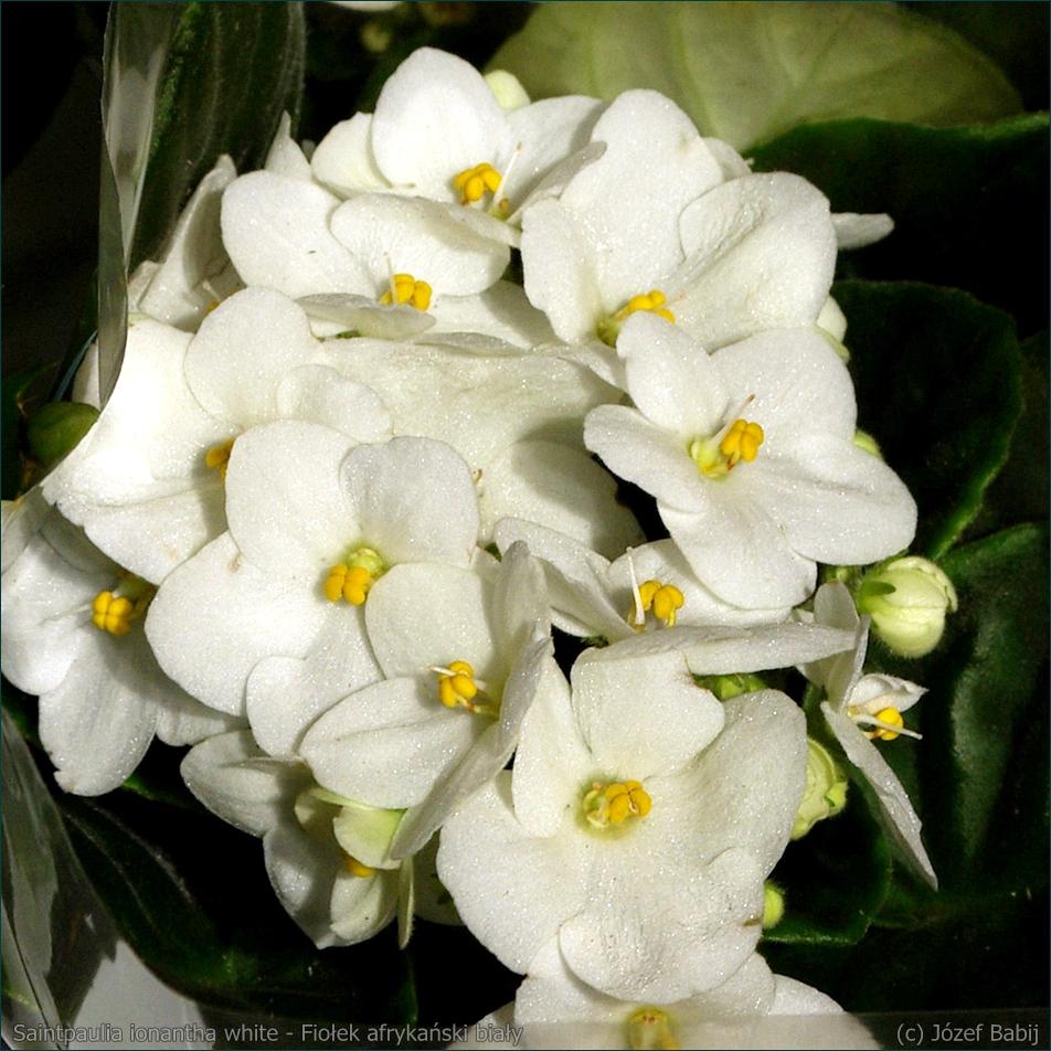 Saintpaulia ionantha white - Fiołek afrykański biały, sępolia biała