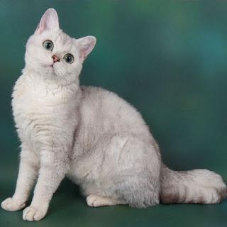 Selkirk Rex Cat Pictures