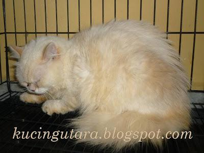 Kucing Utara Rawatan Kucing Dengan Baputih