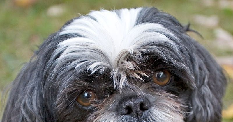 Cute Dogs: Shih Tzu Cute Pitbull Puppy Black