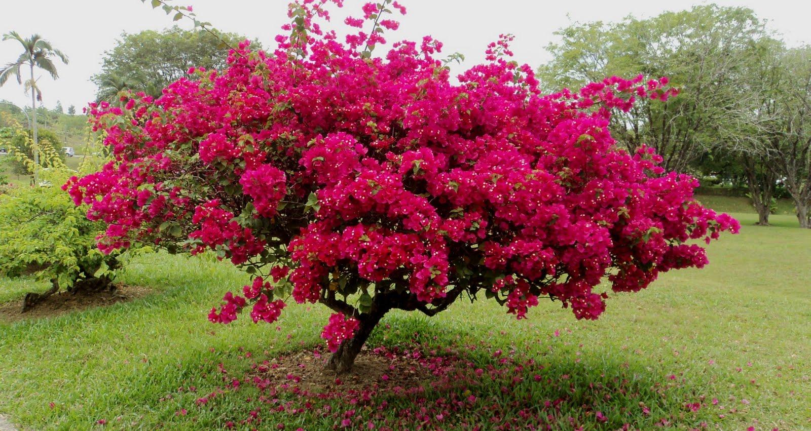 Tree Bougainvillea Flowers