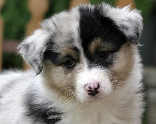 australian shepherd dog puppy face photo beauty australian shepherd ...