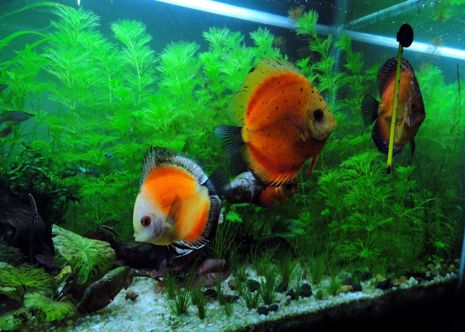 my aquarium blog discus in planted tank