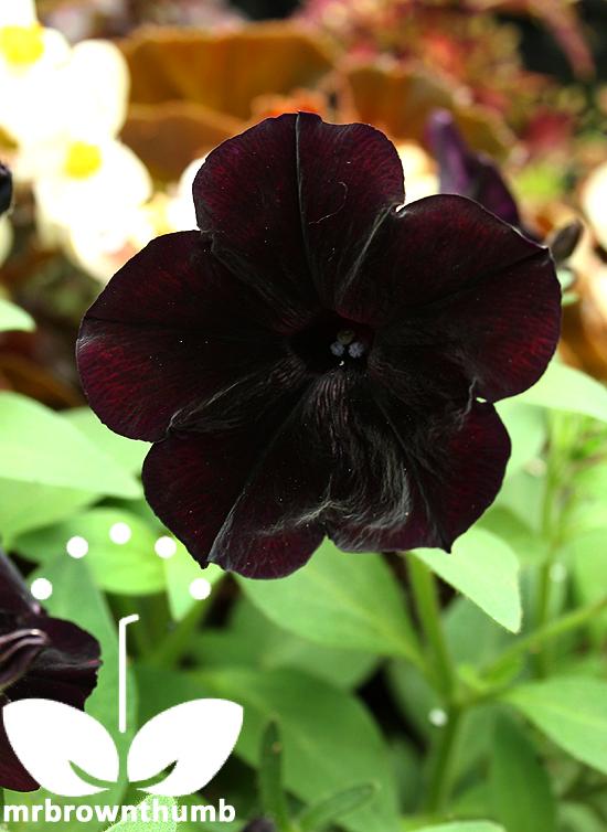 Petunia 'Black Cherry' black petunia